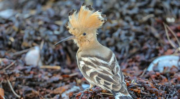 Rare migrating hoopoe spotted at wildlife reserve